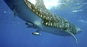 Whale Shark Festival academic conference program announced