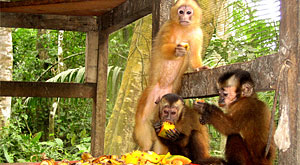 Projects Abroad to release five rescued spider monkeys back into their natural environment on Easter Sunday